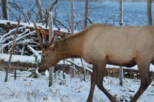 Bull elk with bloody antlers