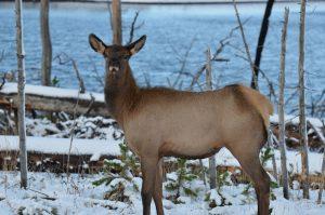 Cow elk stare-down